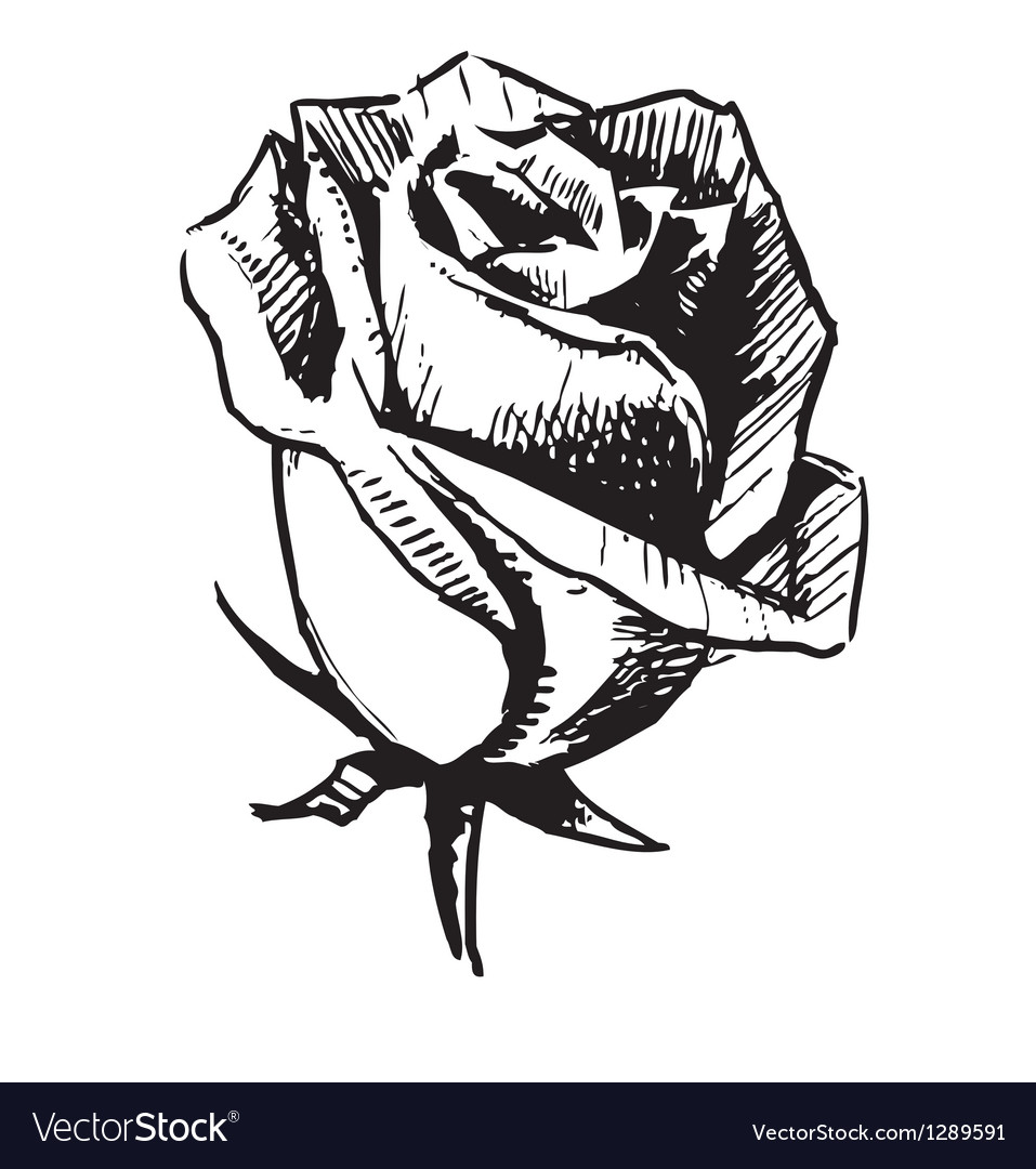 Rose bud sketch vector | Price: 1 Credit (USD $1)