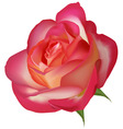 Beautiful tea rose on a white vector