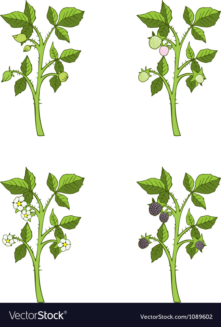 Blackberry growth phases vector | Price: 1 Credit (USD $1)