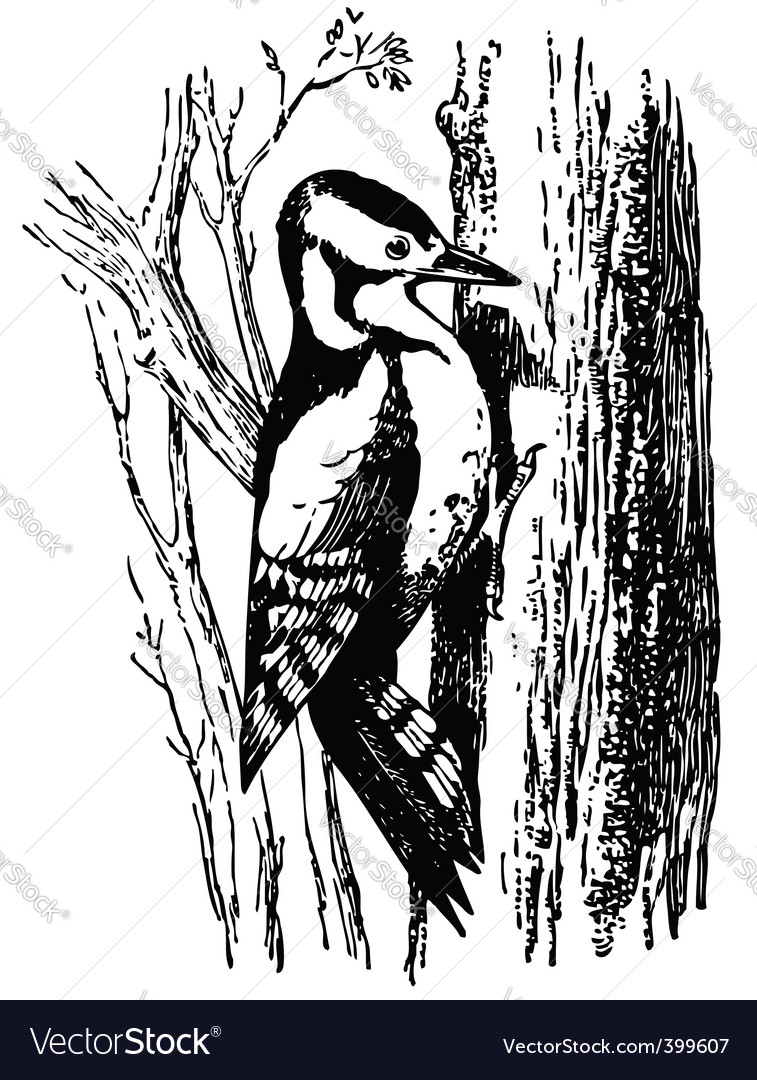 Woodpecker dryobates major vector   Price: 1 Credit (USD $1)