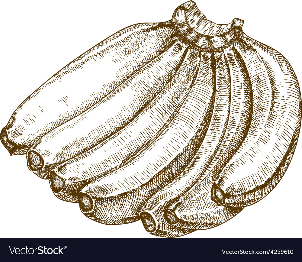 Engraving bananas vector | Price: 1 Credit (USD $1)