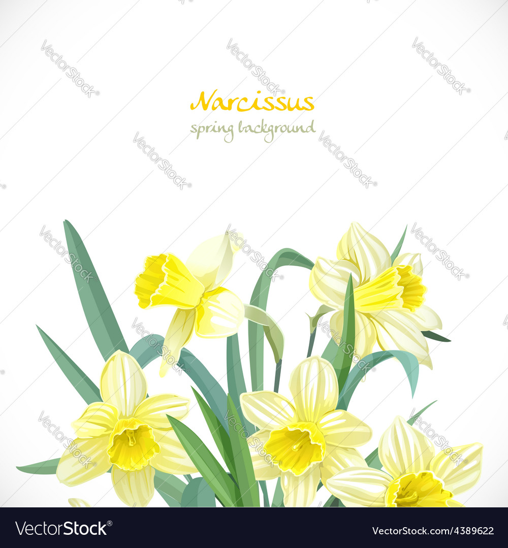 Narcissus spring background vector | Price: 3 Credit (USD $3)