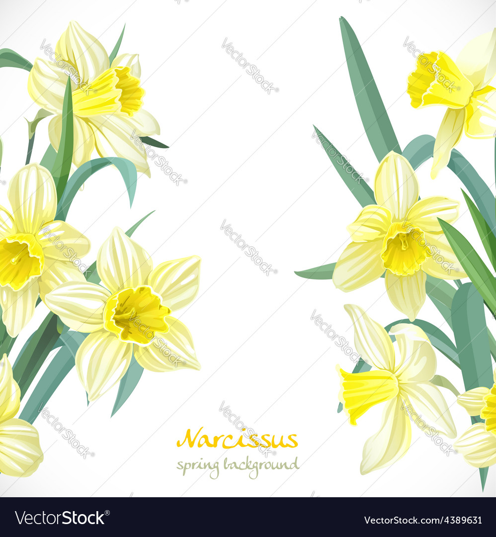 Yellow narcissus spring background vector | Price: 3 Credit (USD $3)