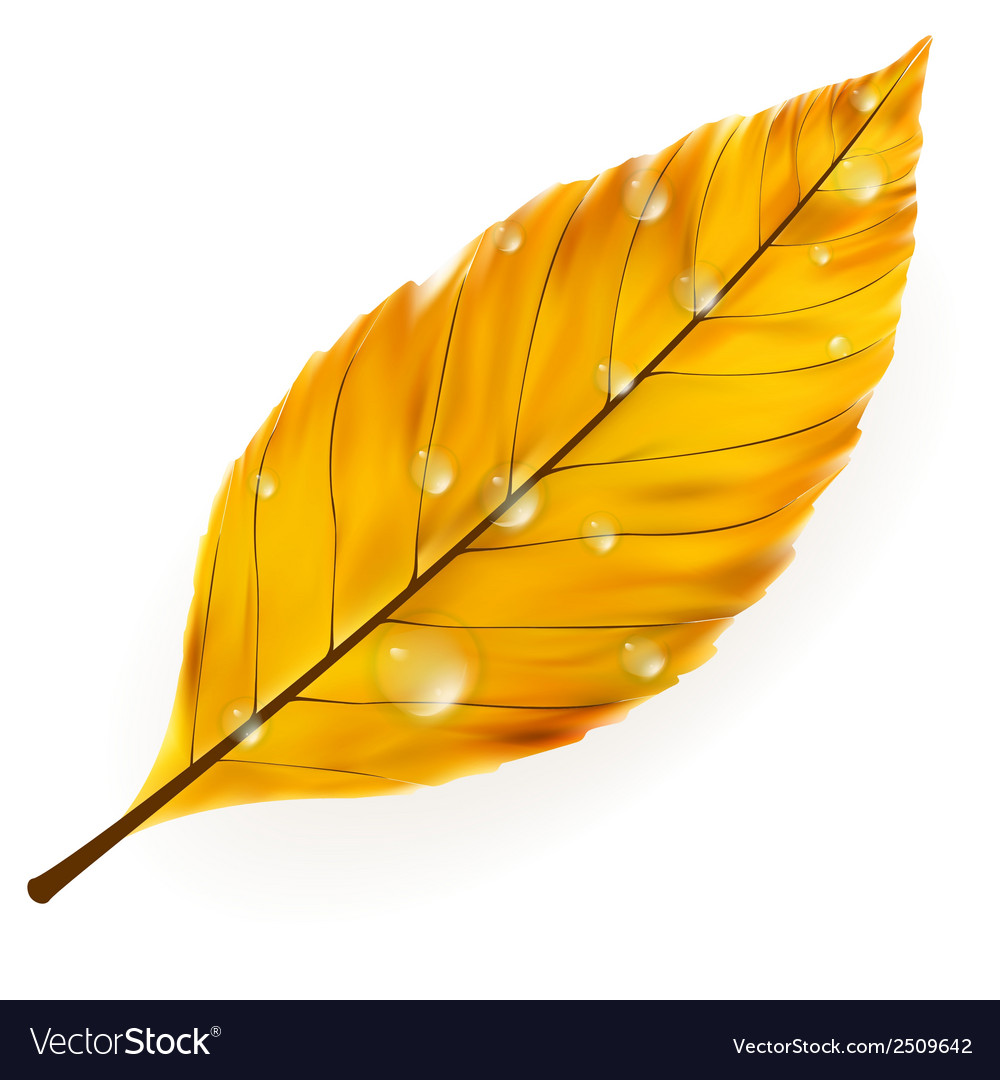 Autumn leaf isolated on white plus eps10 vector   Price: 1 Credit (USD $1)