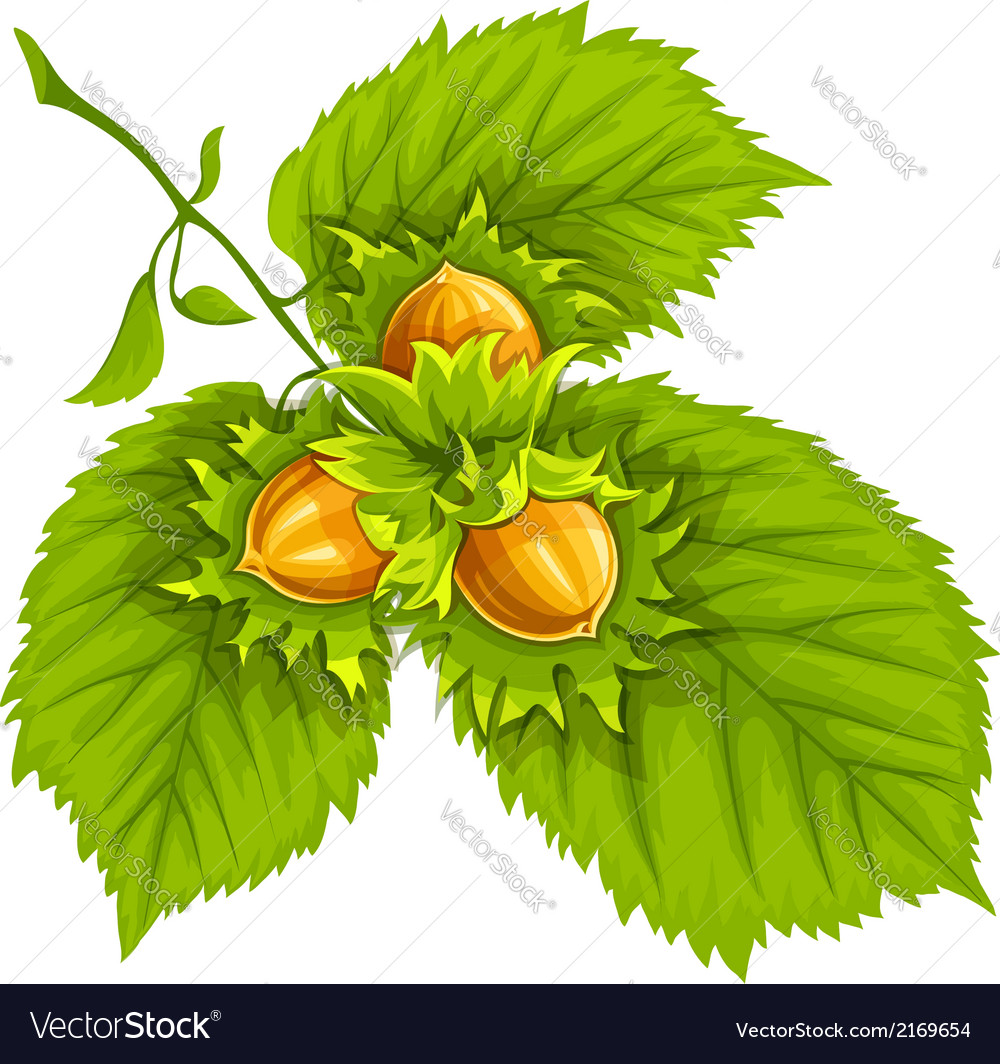 Hazelnuts on green leaves vector | Price: 1 Credit (USD $1)
