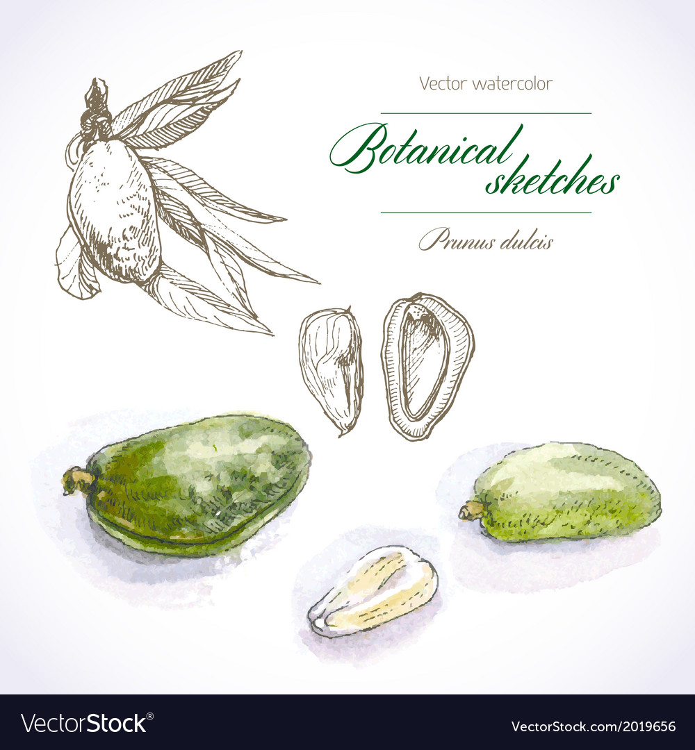 Botanical sketches vector   Price: 1 Credit (USD $1)