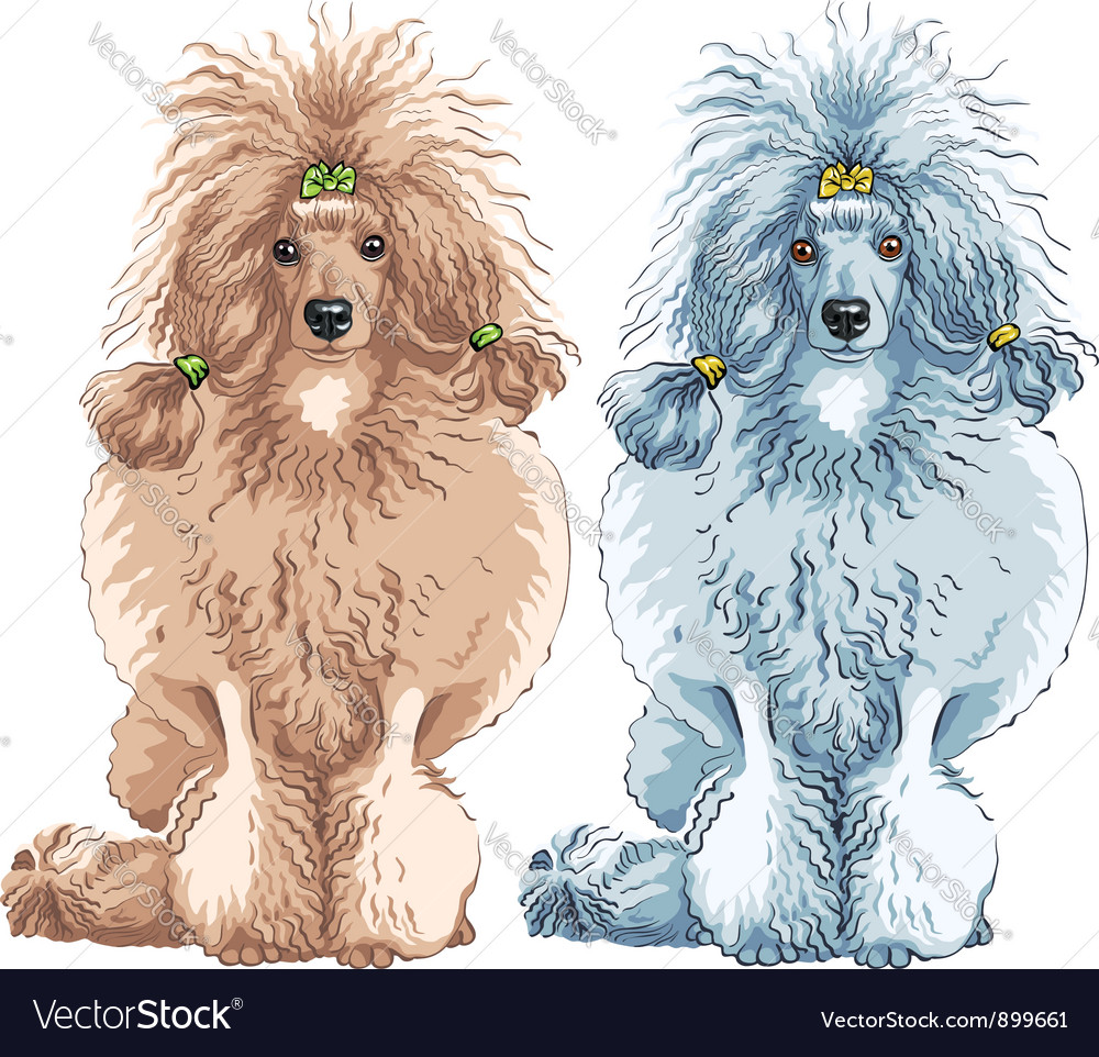 Dog poodle breed sitting vector | Price: 3 Credit (USD $3)
