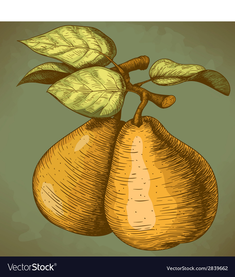 Engraving pear retro vector | Price: 1 Credit (USD $1)