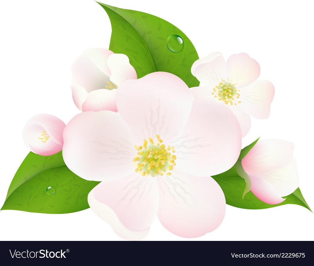 Apple tree flowers vector | Price: 1 Credit (USD $1)