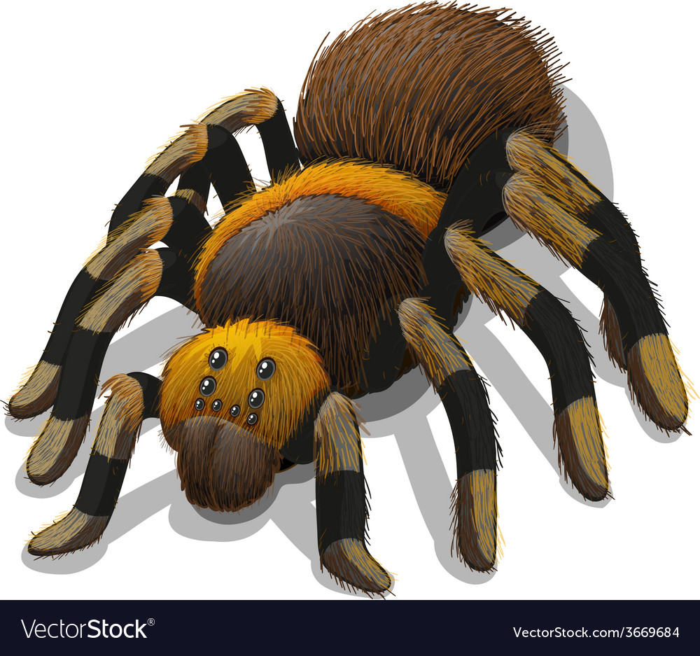 A tarantula spider vector | Price: 1 Credit (USD $1)