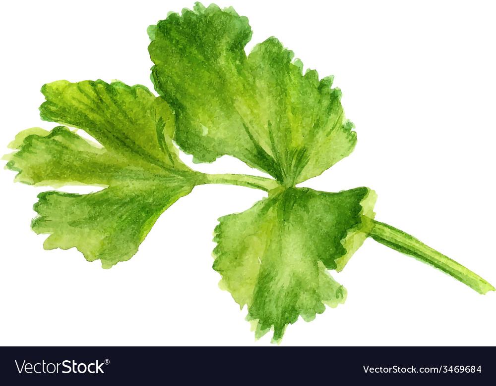 Leaf of coriander vector   Price: 1 Credit (USD $1)