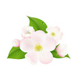 Apple tree flowers vector