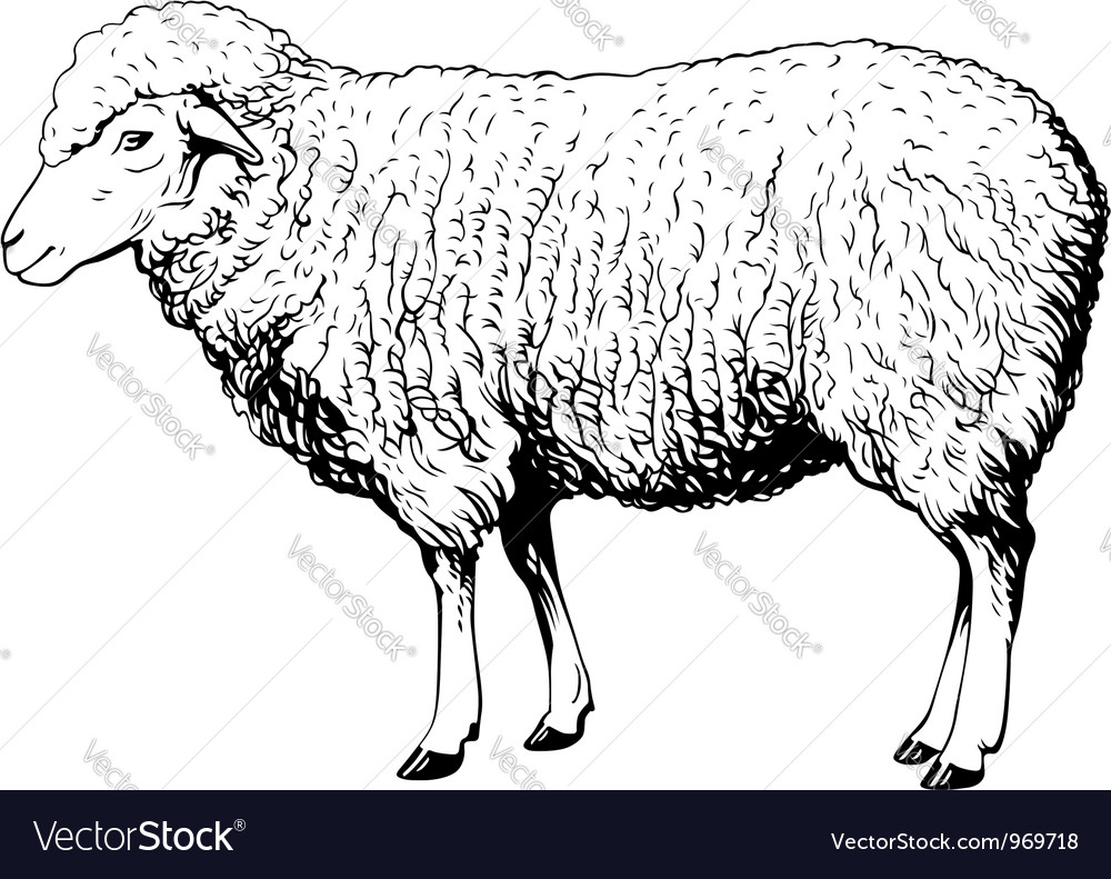 Domestic sheep vector | Price: 1 Credit (USD $1)