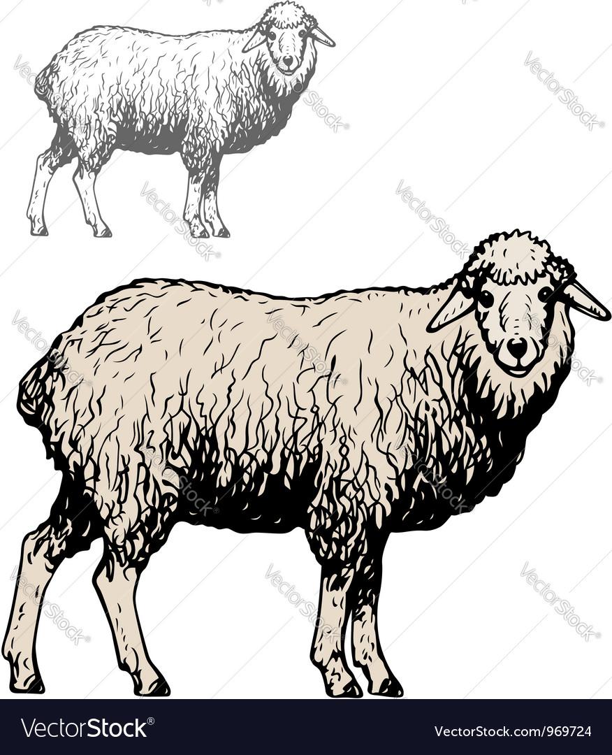 Domestic sheep vector | Price: 1 Credit (USD $1)
