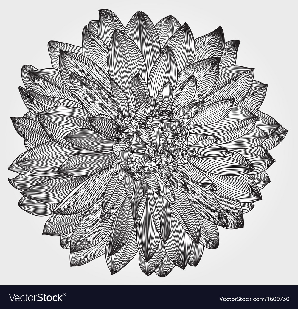 Ink drawing of black dahlia flower vector | Price: 1 Credit (USD $1)