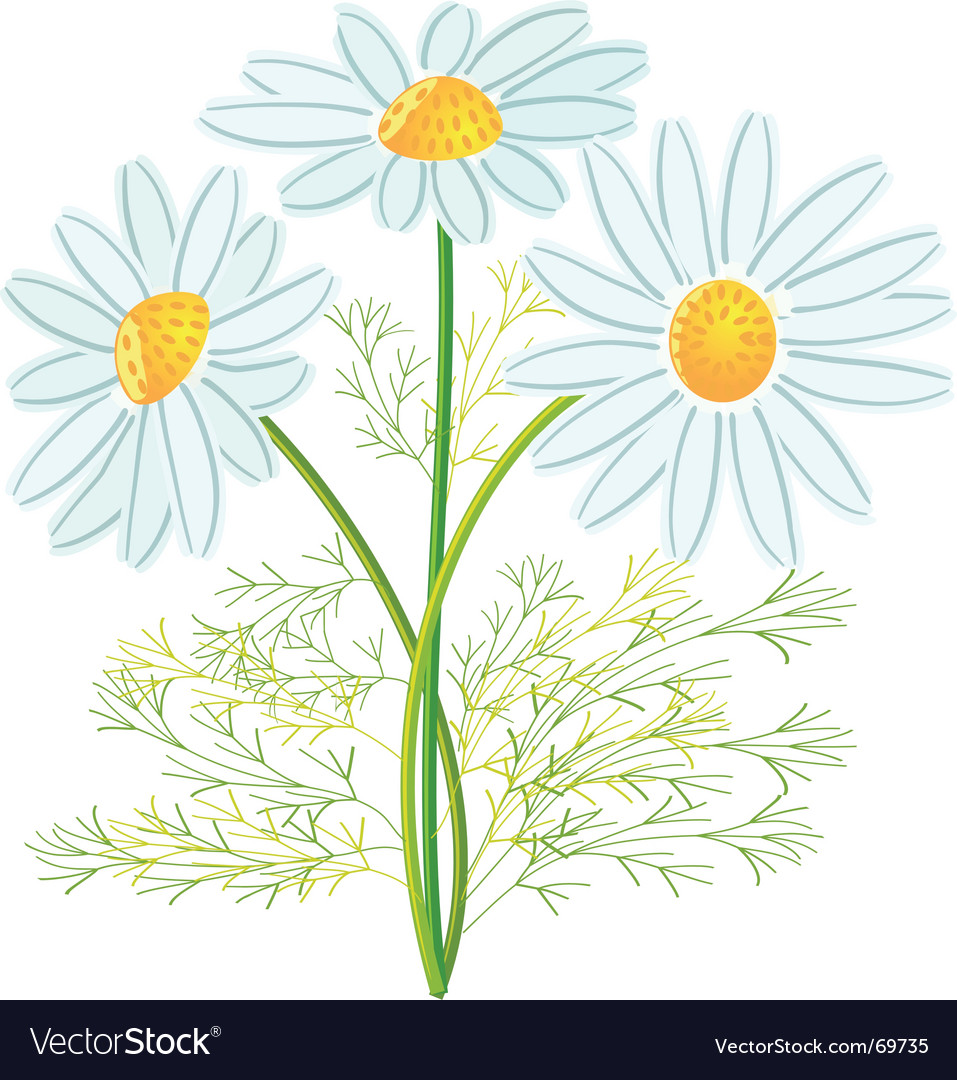 Camomile flowers vector | Price: 1 Credit (USD $1)