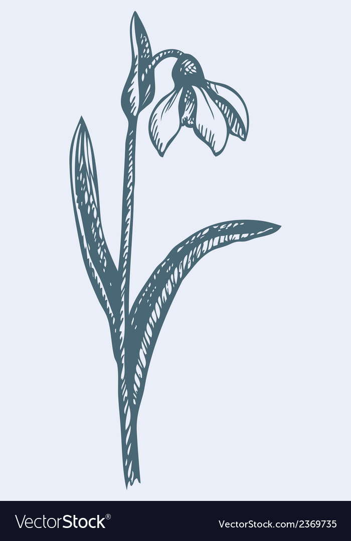 First spring flower - snowdrop vector | Price: 1 Credit (USD $1)