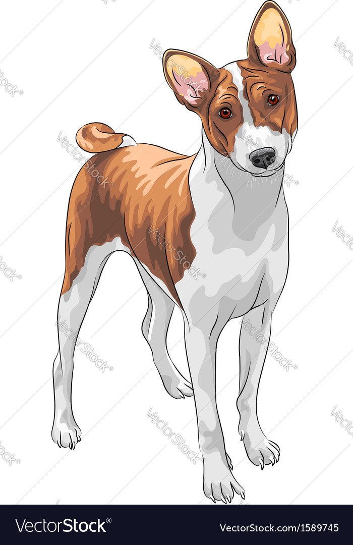Hunting dog basenji breed vector | Price: 1 Credit (USD $1)