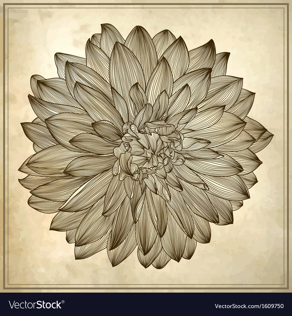 Drawing of dahlia flower vector | Price: 1 Credit (USD $1)