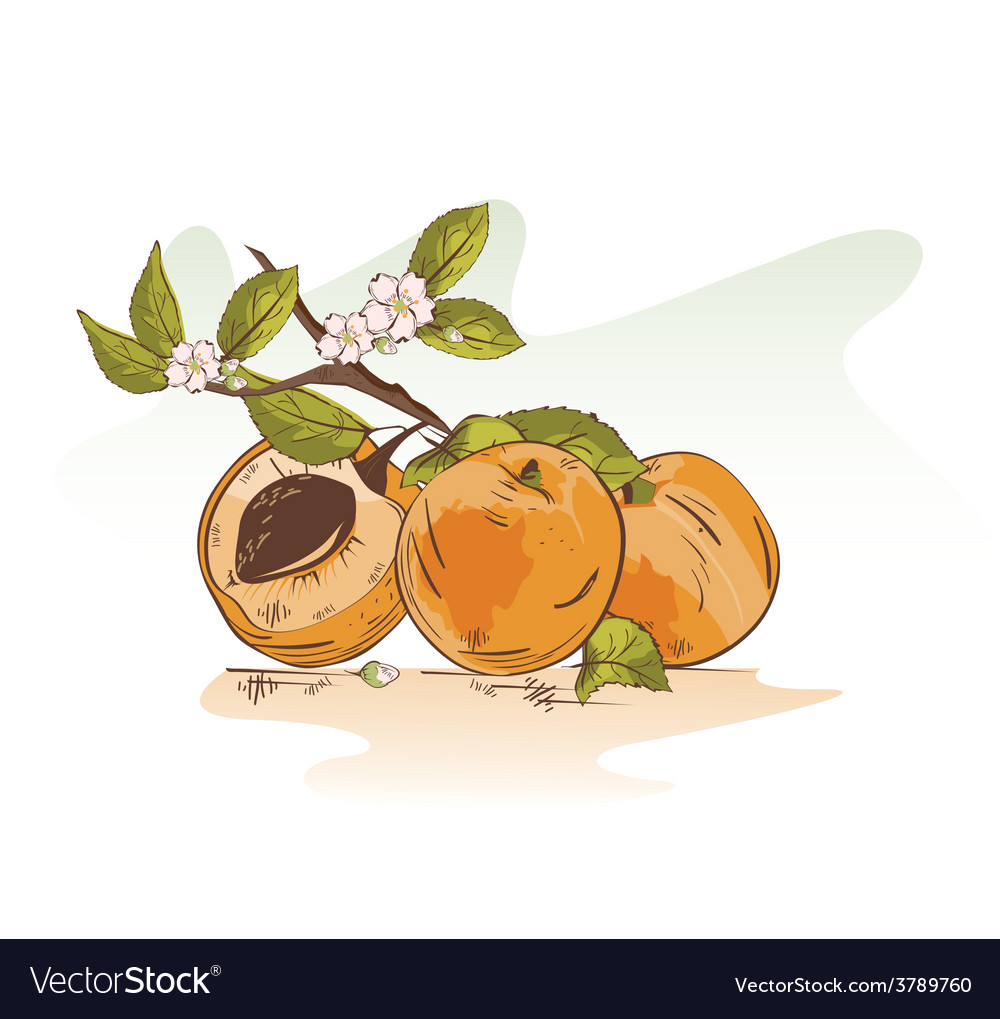 Apricot vector | Price: 1 Credit (USD $1)
