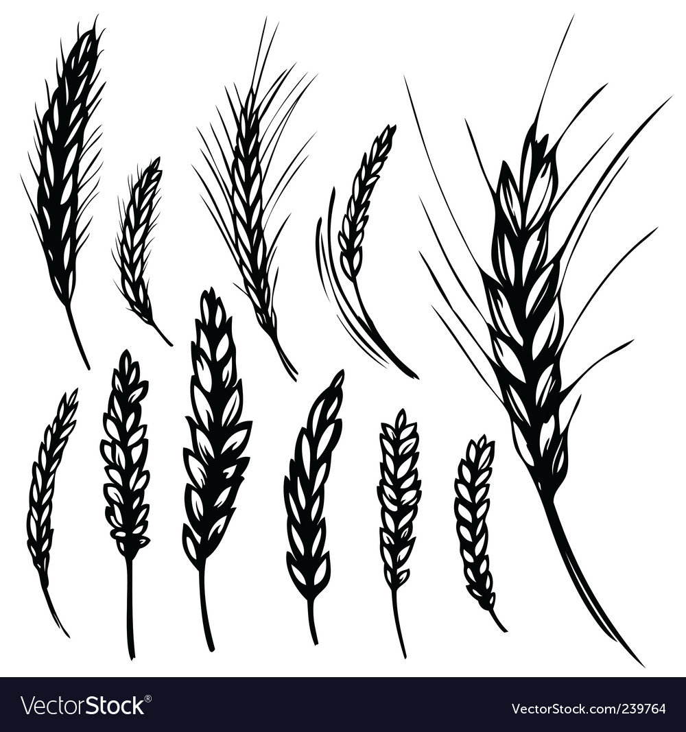 Rye wheat vector | Price: 1 Credit (USD $1)