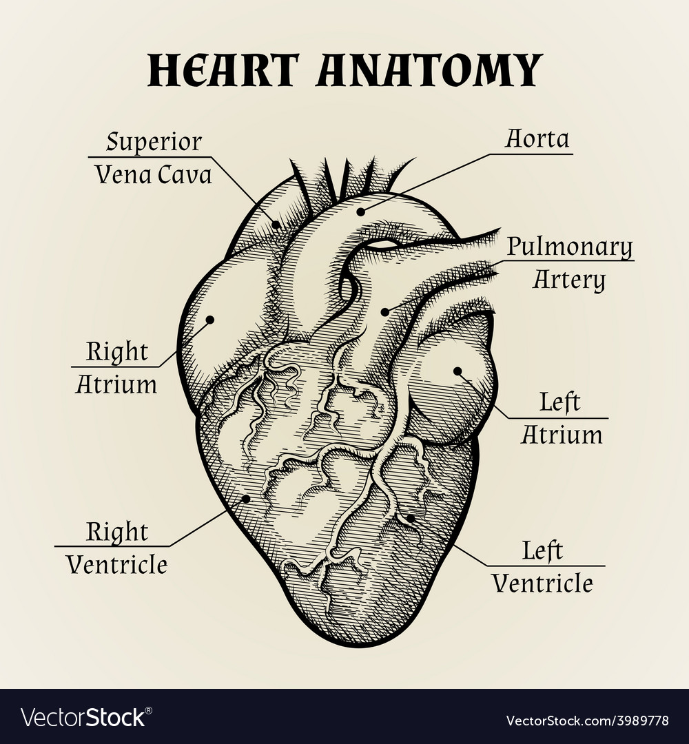 Black and white heart anatomy graphic vector | Price: 1 Credit (USD $1)