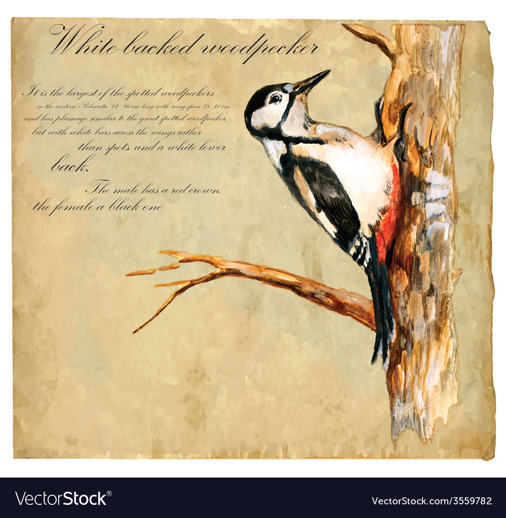 Hand painted bird woodpecker vector | Price: 3 Credit (USD $3)