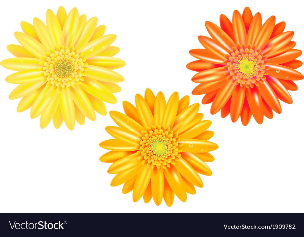 Yellow and orange gerbers vector | Price: 1 Credit (USD $1)