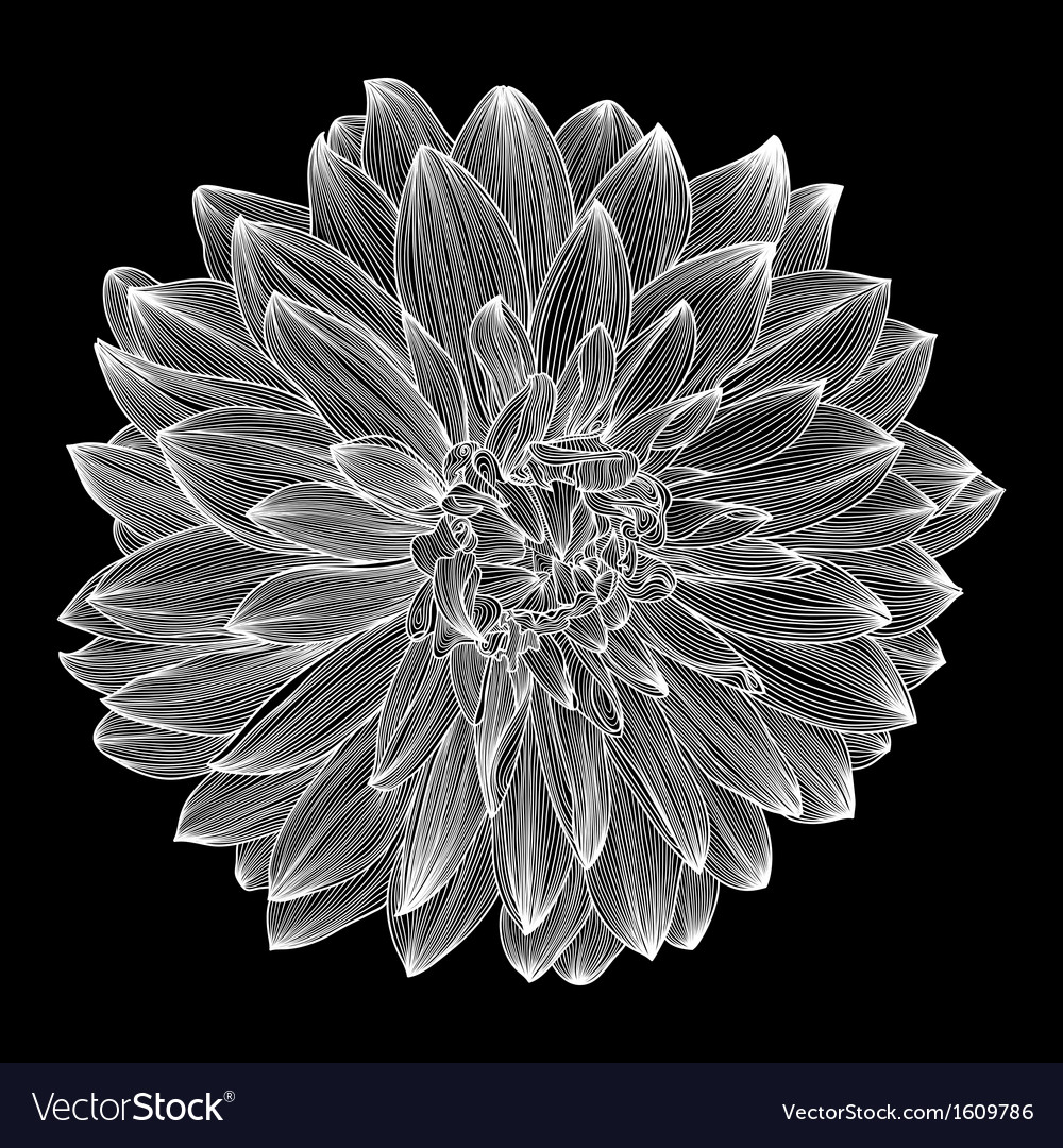 Black and white drawing of dahlia vector   Price: 1 Credit (USD $1)