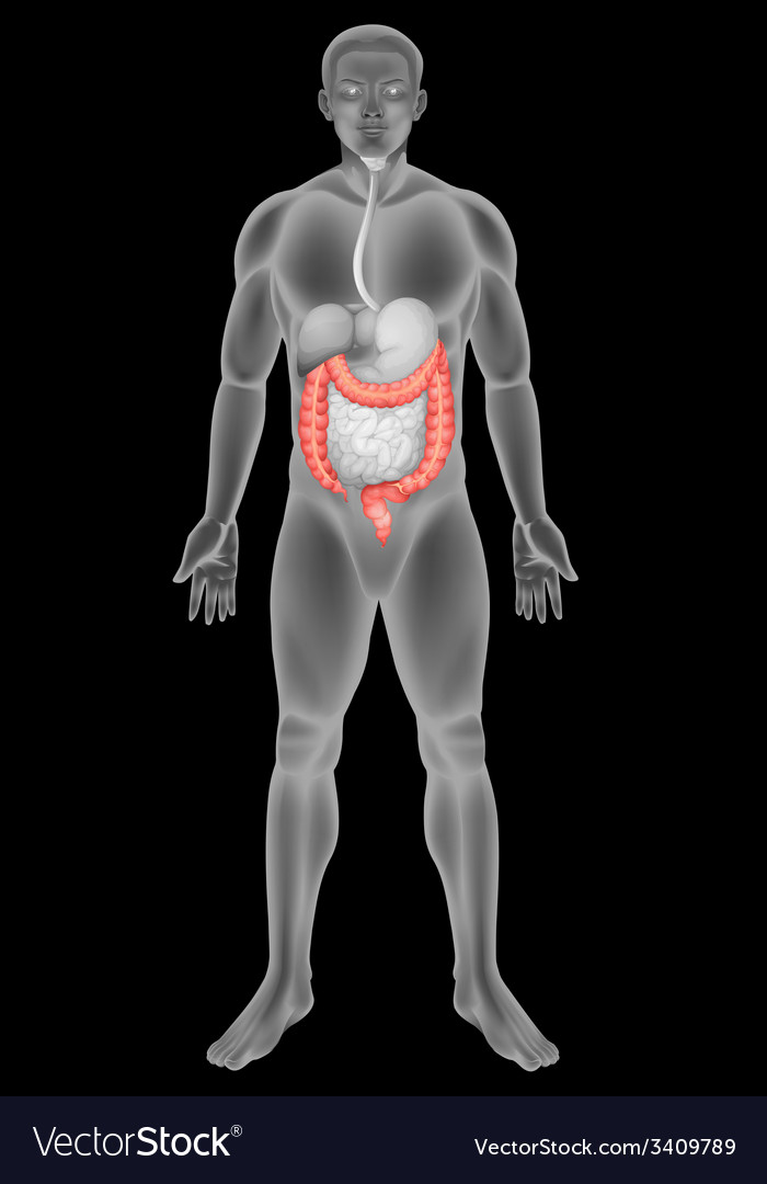 The large intestine vector | Price: 1 Credit (USD $1)