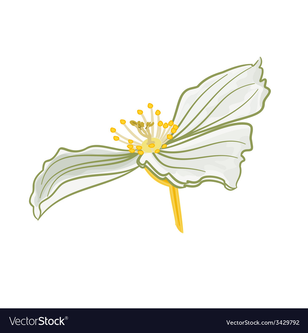 Jasmine flower white isolated vector | Price: 1 Credit (USD $1)