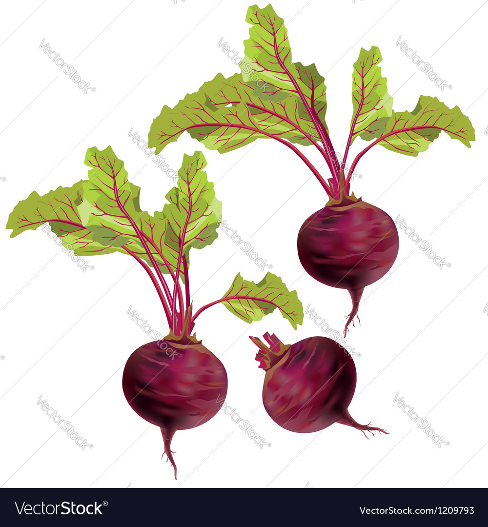 Vegetable beet isolated on white background vector | Price: 1 Credit (USD $1)