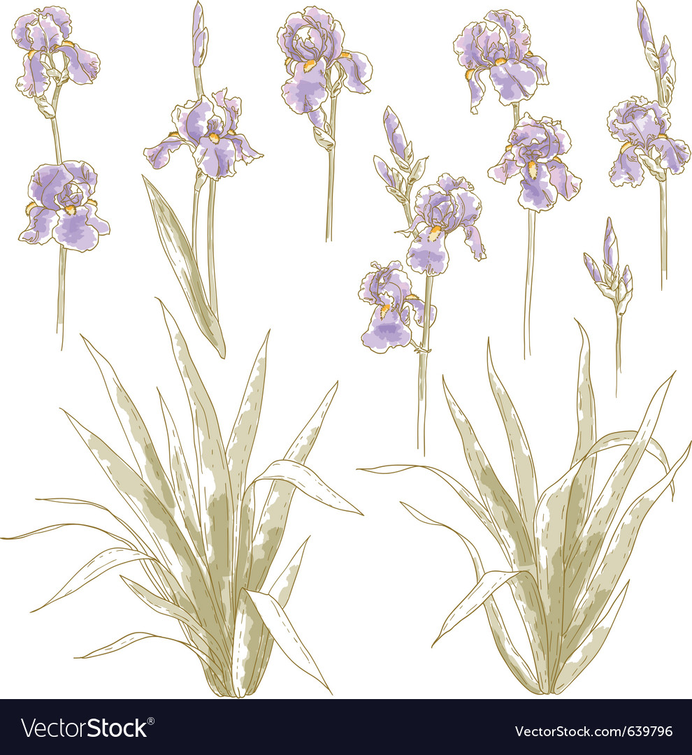 Collection of iris flowers vector | Price: 1 Credit (USD $1)
