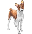 Hunting dog basenji breed vector