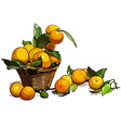 Basket full of tangerines with leaves vector