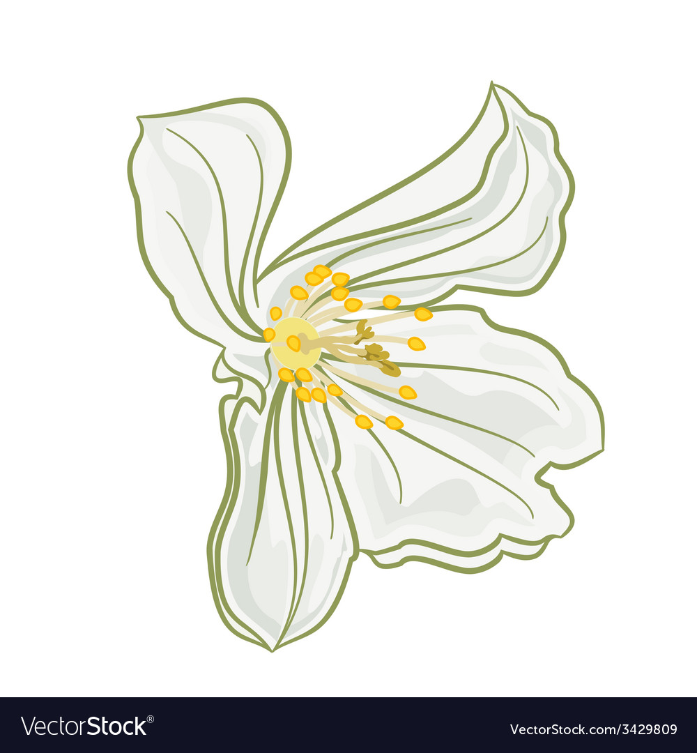 Flower white jasmine isolated on a white vector | Price: 1 Credit (USD $1)