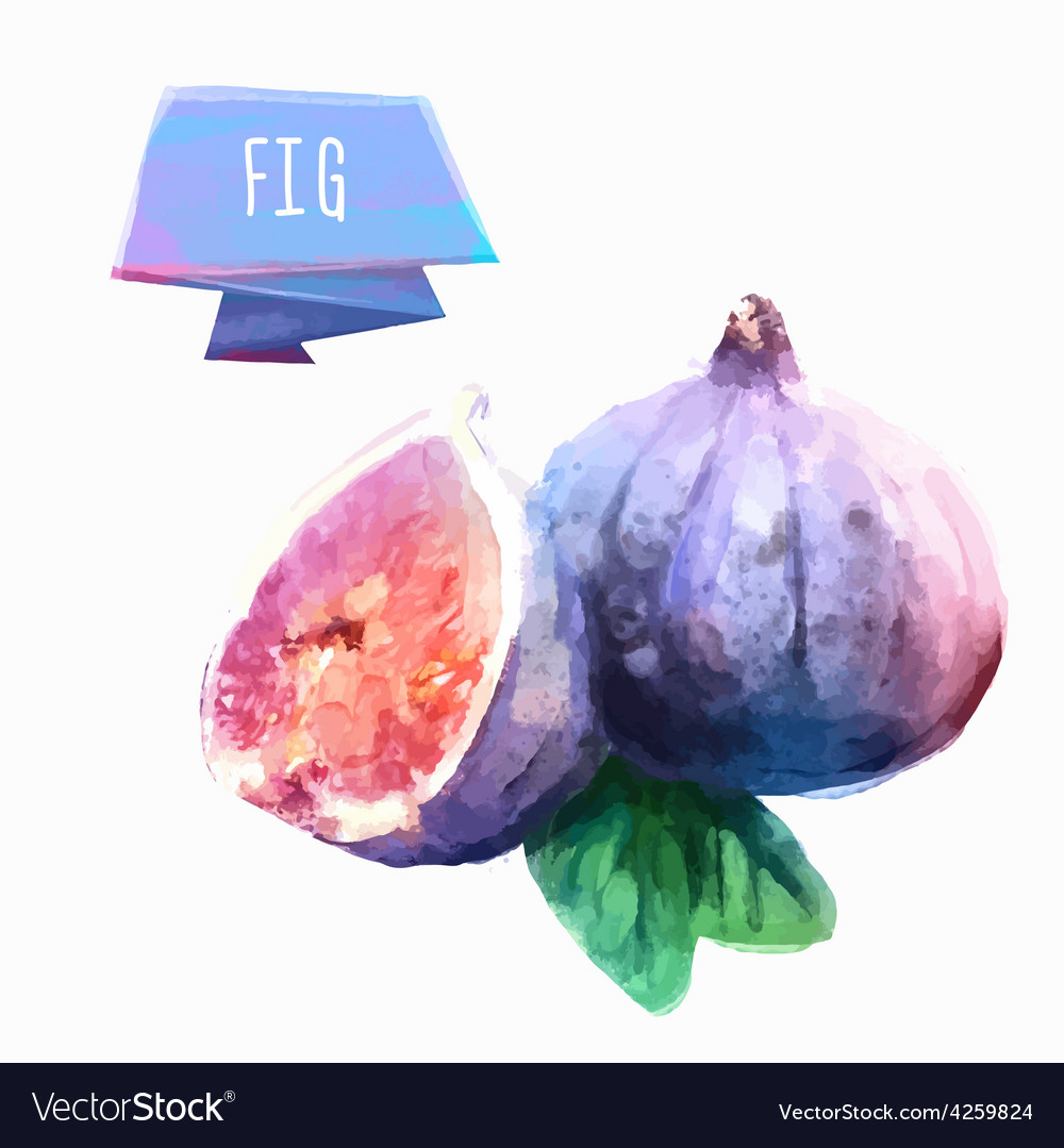 Fig hand drawn watercolor on a white background vector | Price: 1 Credit (USD $1)