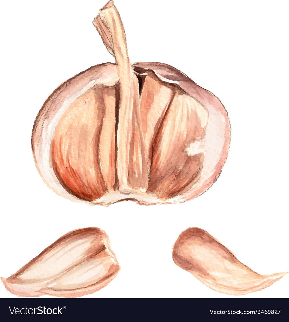 Half of garlic vector | Price: 1 Credit (USD $1)