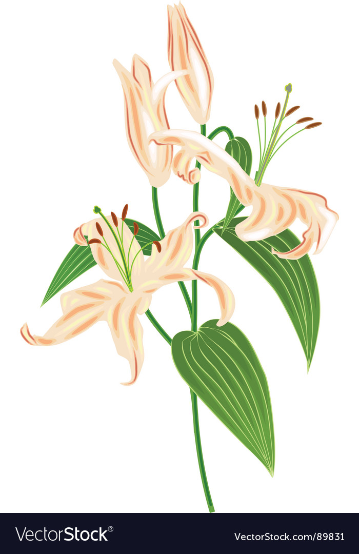 Lily flower bouket vector   Price: 1 Credit (USD $1)