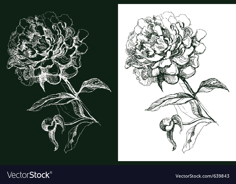 Peony flower hand drawn vector | Price: 1 Credit (USD $1)