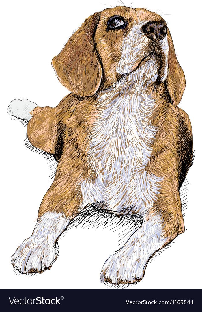 Curious beagle vector   Price: 1 Credit (USD $1)