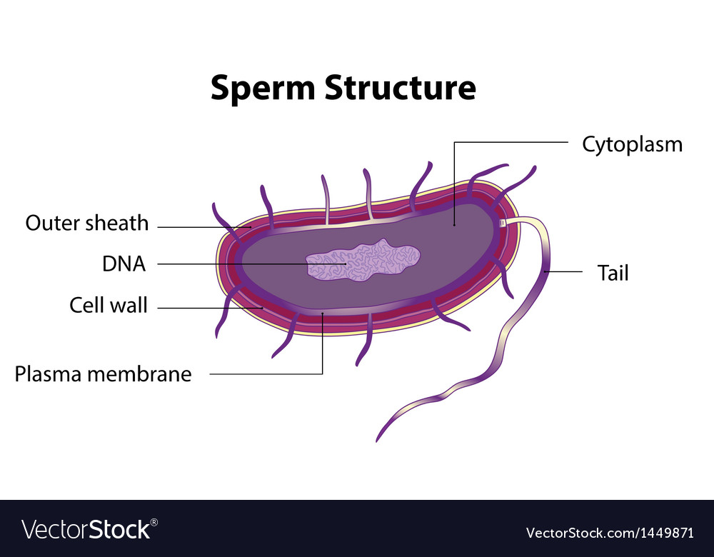 Sperm structure vector | Price: 1 Credit (USD $1)