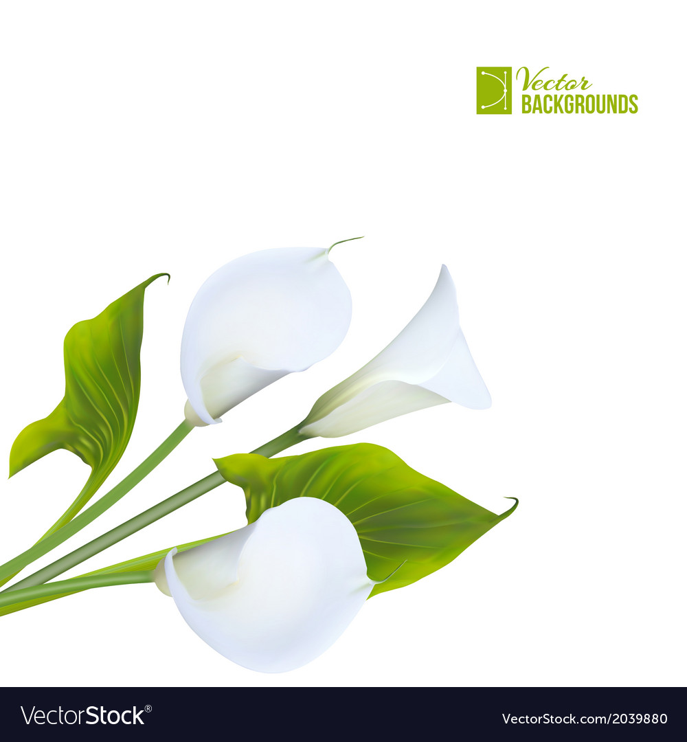 Calla lily vector | Price: 1 Credit (USD $1)