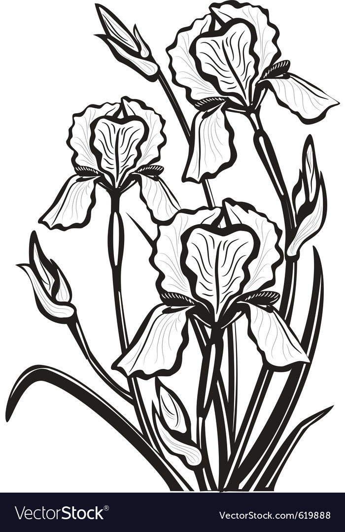 Sketch of iris flowers vector | Price: 1 Credit (USD $1)