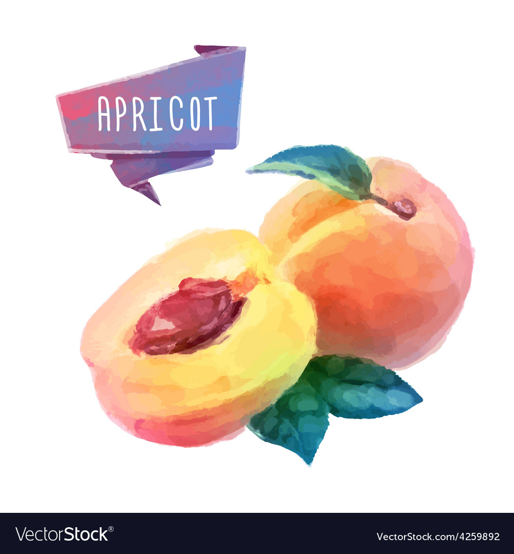 Apricot hand drawn watercolor on a white vector | Price: 1 Credit (USD $1)