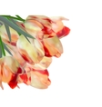 Red tulips isolated on white eps 10 vector