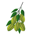 Delicious fresh green carambolas on tree branch vector