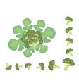 Set of fresh green ripe broccoli cabbage vector