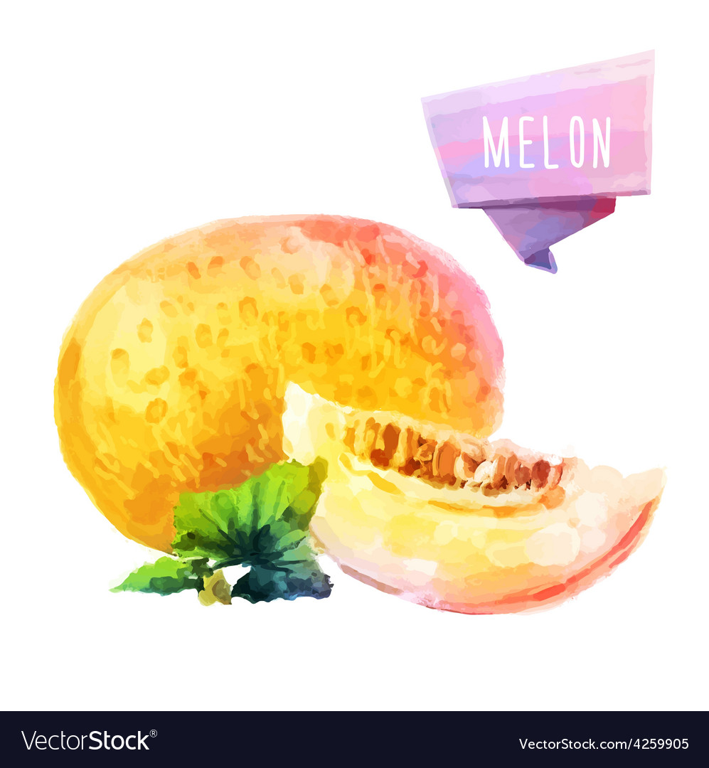 Melon hand drawn watercolor on a white background vector | Price: 1 Credit (USD $1)