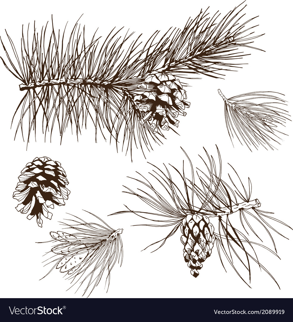 Pine branches design element vector